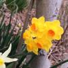 鮮やかな黄色の水仙