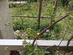 久しぶりのモッコウバラも開花間近。