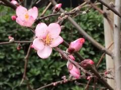 アーモンドの花。満開が楽しみ。