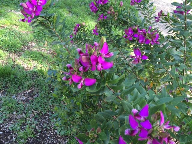 ローマ版萩の花?