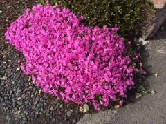 道端の庭先では鮮やかなシバザクラがココヲセンドと咲き誇っていた。と