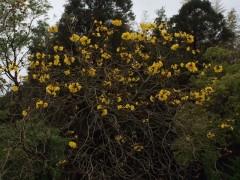 かつての主任司祭マルコ神父さんの25周年記念に植樹。イッペイの木。