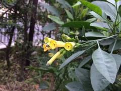 聖書の庭のカラシダネの木も勢いを増し花も付けた。