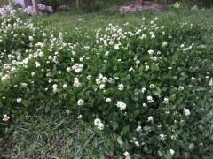 刈るべきか残すべきか。悩ましいところだ。聖書の植物の庭もこのオカタが我が物顔。