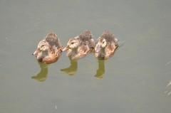 目の前でスピードダウンして整列。餌を待つため?