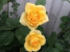 ハイブリッドティーローズ。四季咲き。
