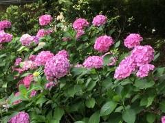 上野公園のアジサイの色の鮮やかさの秘密は何?