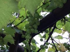 聖書の植物の庭のブドウが今年は豊作?