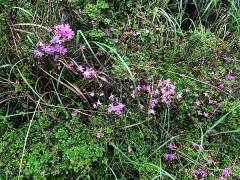 えびの高原のミヤマキリシマ。すでに見ごろを過ぎていた。