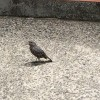 川べりにも磯ヒヨの雄たちが何羽もいた。