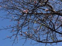 昨日の吉野公園で見かけた桜。