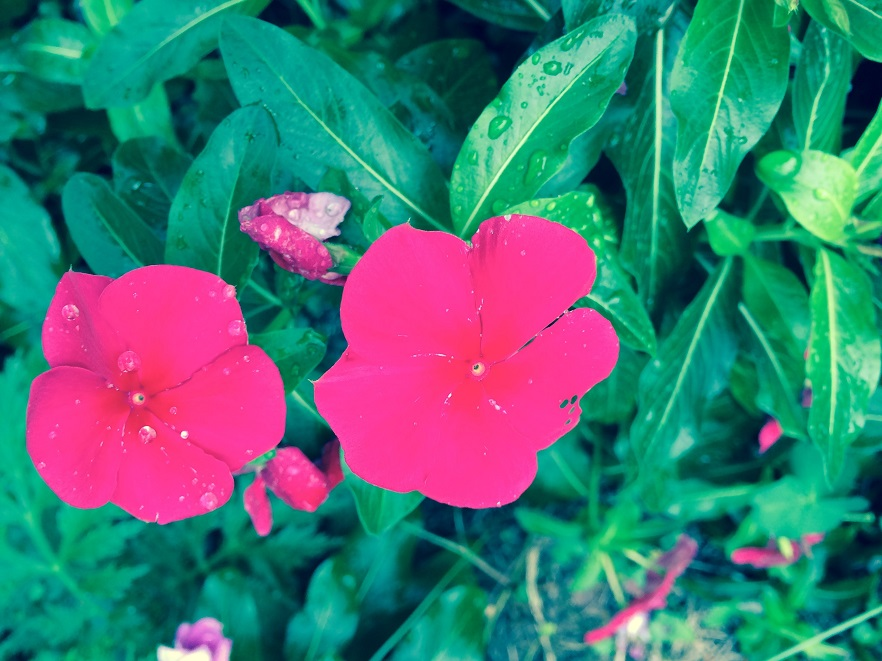 聖書の植物の庭に咲いたオシロイバナ。