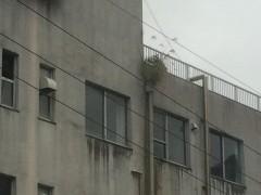 地区長館に隣接する廃業ホテルに住みついたススキ。