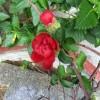 ベトナムで見かけた小さなバラ。