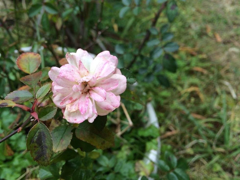 薄い小さな花弁はかなり傷ついている。
