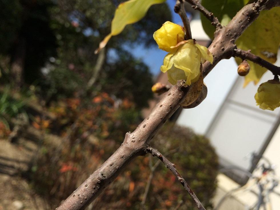 金松邸の蝋梅。