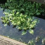 農家が多いのに水路の水はきれい。セリが生えていた。