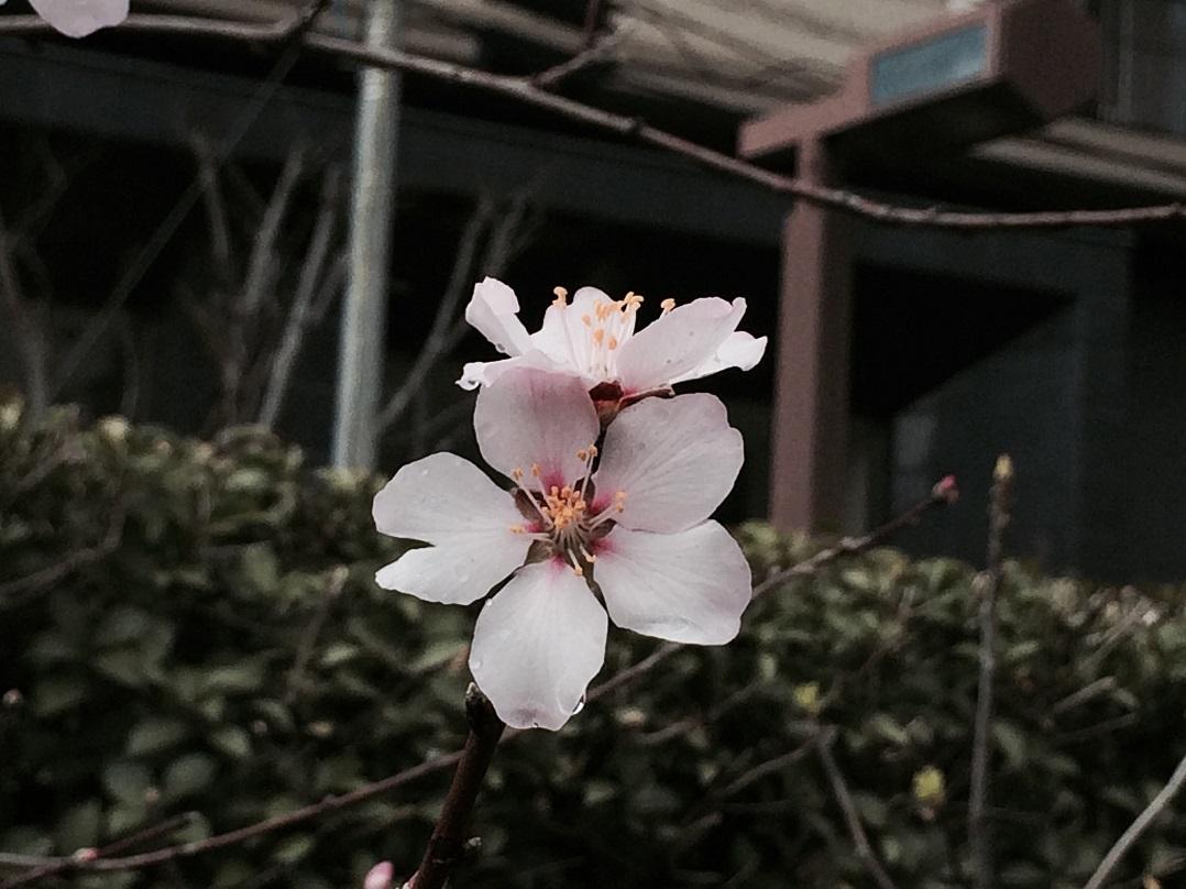 春一番のアーモンドが咲いた