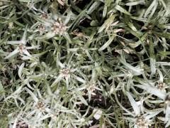 聖書の植物の庭のチチコグサ