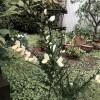 植えたばかりのエニシダの木に花が咲いた。