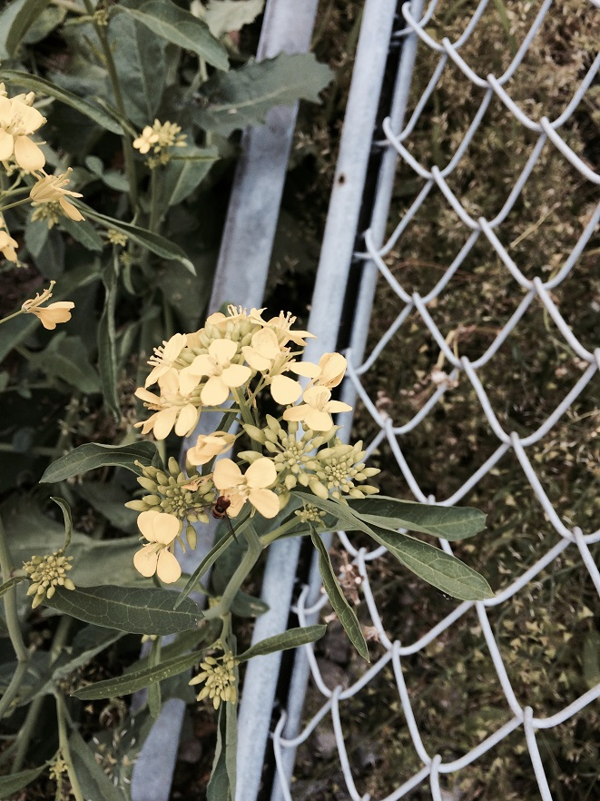 かつては海だった潮見の路傍に咲く菜の花