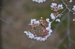 丸岡公園の桜は八分咲きだった