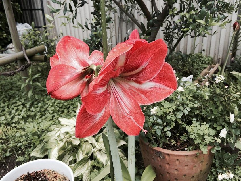 聖書の植物の庭の大輪のアマりリアス