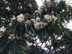 シマは花の季節。瀬留教会内部の柱はこのイジュウの木。