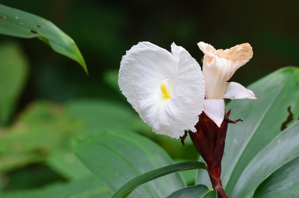 シンガポールで見かけた花