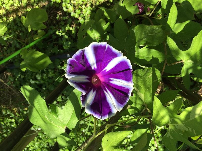 聖書の植物の庭には朝顔も咲く。