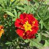 日本でもよく見替える花だが、色の鮮やかさは劣る。