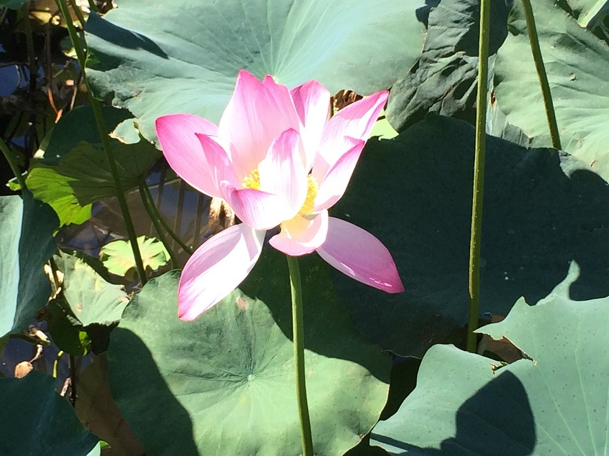 鶴丸城のお堀に咲く遅咲きのハス