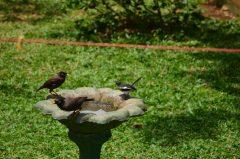 左セイロン九官鳥、右シキドリのにらみ合い