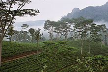 お茶畑はバングラデシュにもあったな。