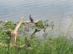 天降川にもいるカワウ