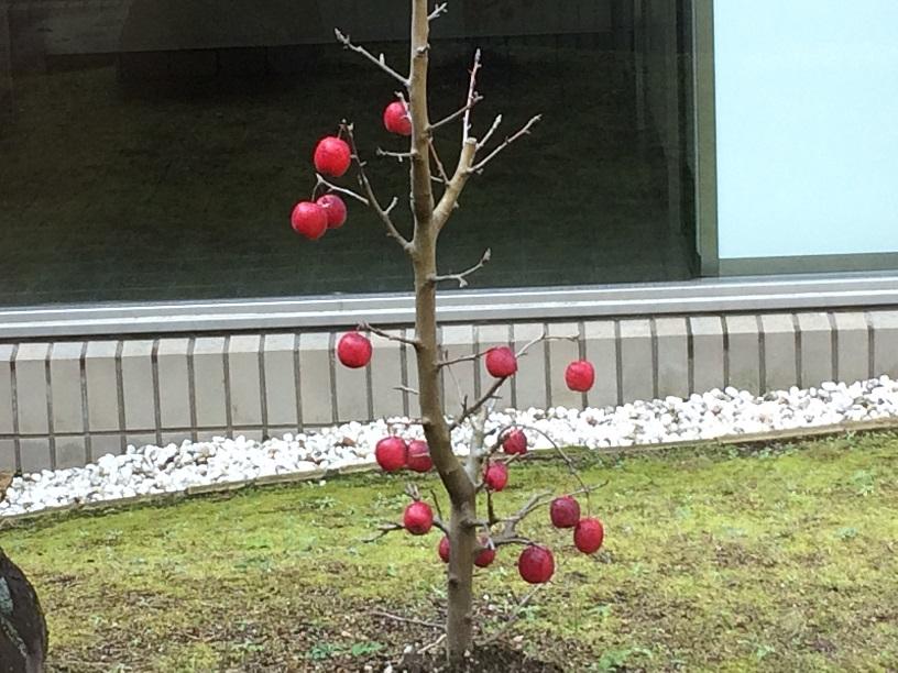 火葬場の中庭に実るミニリンゴ
