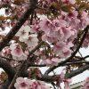 平和の園の桜は満開