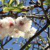 人吉の桜も部分咲