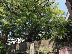 山王神社の被爆クスノキ
