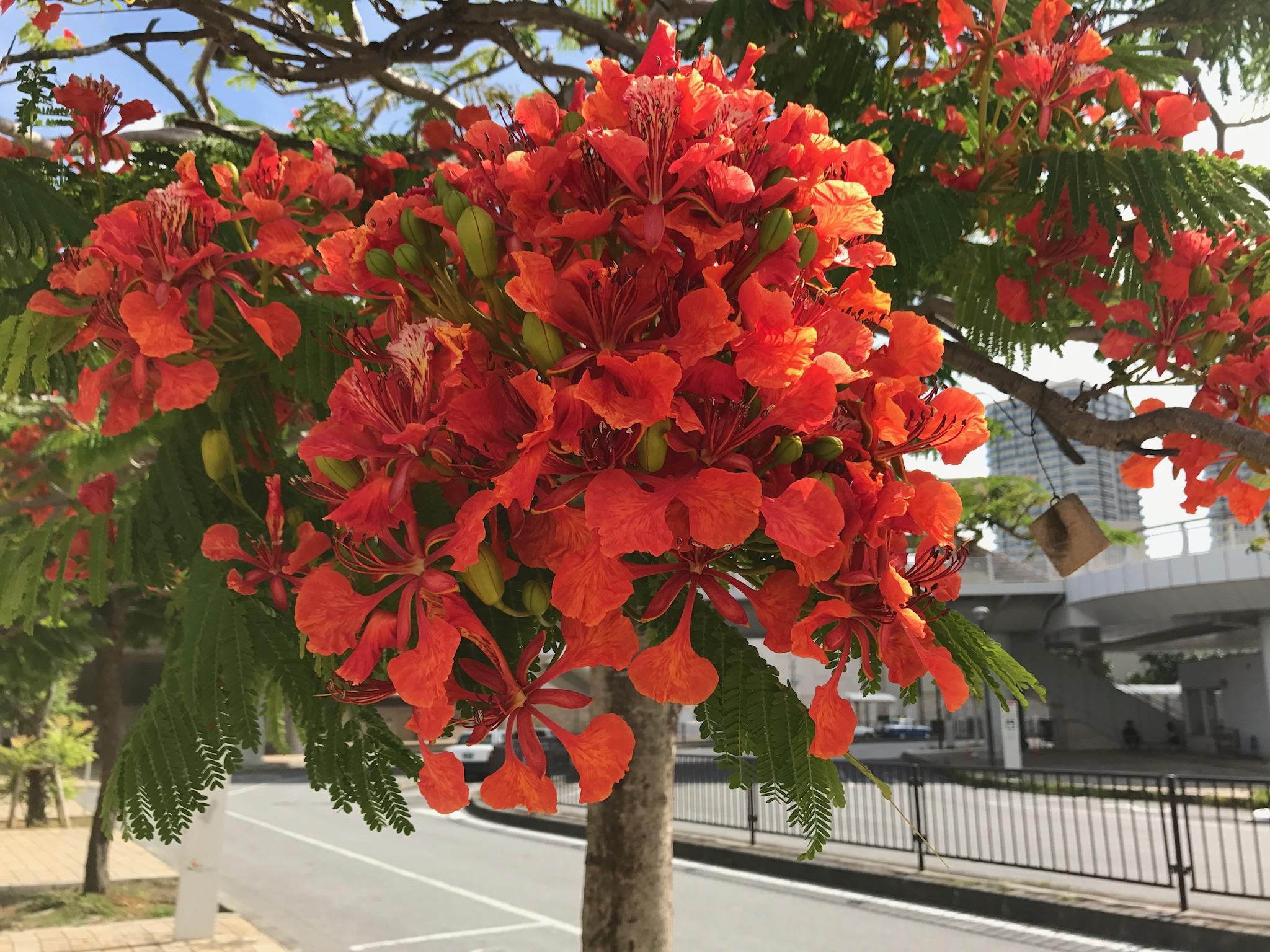 街路樹の花はカエンバナ?