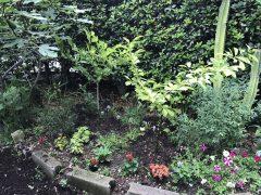 コブシ二本植栽。来年の五月はまっ白い花が楽しみ。今年もイチジク豊作。