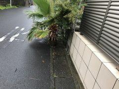 加世田の町で見かけた根性ヤシ