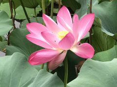 中国蘇州世界遺産庭園のハス