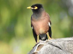 インドハッカ雑食で害鳥との烙印を押されている