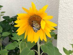 子供たちが蒔いたひまわりに蝶が