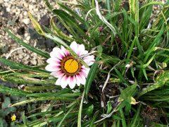 満身創痍でも美しい花を咲かせる