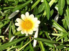 園舎玄関横のガザニア。ほったらかし?でもきれいに咲く