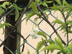 葉桜になっても散らない園庭の避寒桜の白