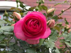 聖堂入り口横のバラ