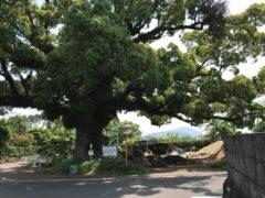 訪問の途中で見た大クス。樹齢200年